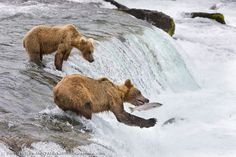Brown bear fish for red salmon at the falls of Brooks river, Katmai National Park, southwest, Alaska. Sloth Bear, Katmai National Park, Spirit Bear, Brown Bears, Grizzly Bears, North And South America, Red River, Black Bear, Mammals