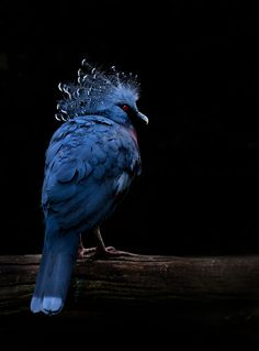 This bird is a Victoria Crowned Pigeon. The crowned pigeon is quite spectacular, being blue in colour and as tall as a turkey (74 cm). It has a large crest of feathers on its head that can be raised - hence its name. It is the largest of all living pigeons and is found in the wild only in New Guinea and some smaller offshore islands nearby. [...]