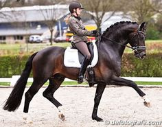Connaisseur *07 Con Amore - Donnerhall. Love Donnerhall foals!