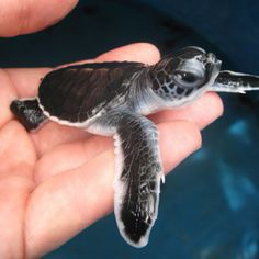 Baby Sea Turtle #baby #turtle