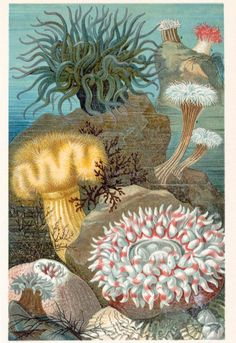 1895 Brilliantly Coloured German Chromolithograph Plate of Sea Anemones