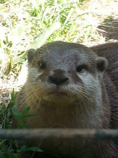 Otter Selfie!