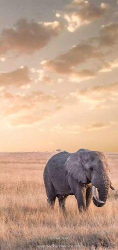 Animals Amazing, Animals Beautiful, Cute Animals, Safari, Bull Elephant, Wild Animals Photography, Gentle Giant, Gremlins, Pet Birds
