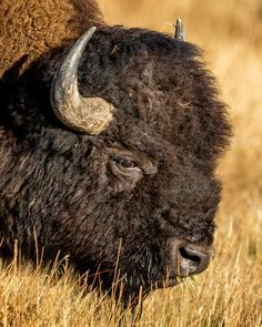 Bull Bison – Bison bull grazing in a wet meadow, (in morning light). Bull Bison – Bison bull grazing in a wet meadow, (in morning light). Buffalo S, Buffalo Animal, Highlands, Buffalo Pictures, Buffalo Painting, Musk Ox, American Bison, Fauna, Wildlife Art