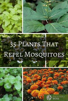 mosquito plants A guide to plants that repel flies, including information on how to cultivate and care for those specific plants and how long they take to grow. Yard Work, Garden Pests, Plants, Garden, Plants That Repel Flies, Backyard Garden, Outdoor Plants, Backyard, Gardening Tips