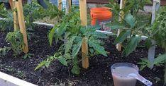 Roșiile, la fel ca alte culturi, au nevoie de fertilizare. Desigur, cel mai bine este să utilizați îngrășăminte naturale, ecologice. Iată 7 rețete cu ce pot fi hrănite roșiile după transplantarea lor în câmp deschis, la îndemână oricărui grădinar. Sunt cele mai simple ingrediente, care se găsesc în orice grădină. Rețetele naturiste de îngrășăminte s-au dovedit a fi eficiente. Datorită lor, atât tomatele, cât și alte culturi, dau recolte bogate. Fertilizarea contribuie la creșterea și… Vegetables, Garden, Hampers, Plant, Composters, Veggies, Lawn And Garden, Vegetable Recipes, Gardens