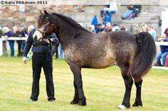 Connemara - stallion Shanna Larry