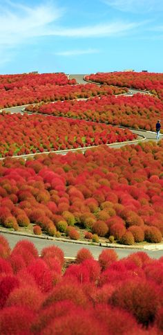 Cinematic Cosmos Mountain and Kochia at Hitachi Seaside Park, Japan | 19 Reasons to Love Japan, an Unforgettable Travel Destination