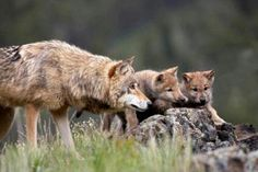 Save the Wolves. Visit www.projectwolf.org and learn about what is being done to this amazing animal.