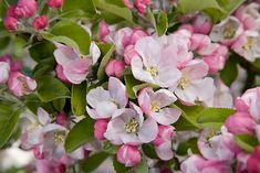 quince tree in bloom - Google Search
