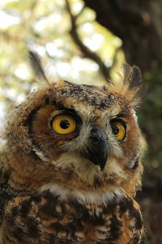Close-up of the Great horned owl. - Portrait