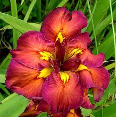 cherry twist louisiana iris