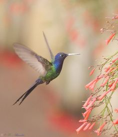 Série com Beija-flor Tesoura (Eupetomena macroura) - Series with the Swallow-tailed Hummingbird - 08-01-2013 - IMG_7453 | Flickr - Photo Sharing!