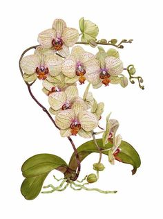 Phalaenopsis orchid by Linda Petchnick - Wish I had te patience and skill to paint like this!