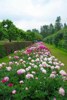 The Long Peony Border at Penshurst Place by antonychammond, via Flickr