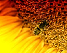 THE NATURE COLLECTION Macro photograph bee by EmulsionProjekt, $28.00