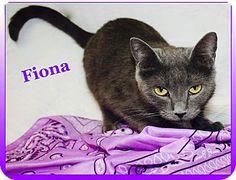 Cuba, MO - Russian Blue. Meet Fiona, a cat for adoption. http://www.adoptapet.com/pet/17435845-cuba-missouri-cat