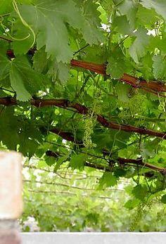 Instructions to follow: Training grape vines over a pergola (click link for diagrams)