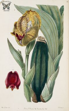 Anguloa ruckeri. Edwards's Botanical Register vol.32 (1846) [S.A. Drake]
