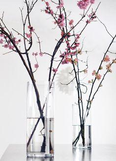flowering plum + quince
