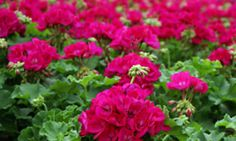 """TLC Home """"10 Impossible-to-kill Plants""""-geraniums"""