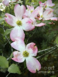 #Pink #dogwood #tree #blossoms by Andrea Anderegg
