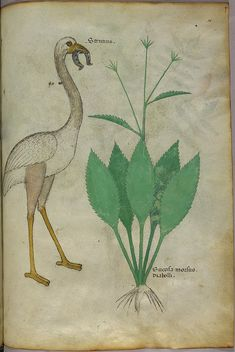Miniatures of a plant and a bird, holding a horseshoe in its mouth - (Tractatus de Herbis - Sloane 4016 f. 96), via Flickr.