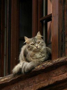 littlepawz: Se não é uma questão de ter uma caixa de flores ou um gato parapeito sua decoração, o gato ganha mãos para baixo