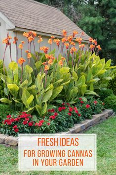 There is nothing subtle about With their big impressive height and vibrant, orchid-like these flashy extroverts love being the center of attention. Canna Lily Landscaping, Florida Landscaping, Tropical Landscaping, Landscaping Plants, Front Yard Landscaping, Tropical Garden Design, Backyard Plants, Tropical Gardens, Landscaping Ideas