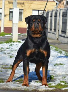 Purebred Rottweiler, German Rottweiler Puppies, Rottweiler Love, Cute Baby Dogs, Cute Dogs And Puppies, Big Dogs, I Love Dogs, Rottweiler Pictures, Dog Classes