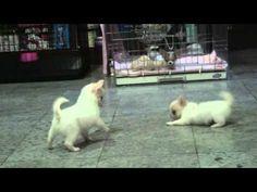Chihuahua Puppies Playing Around