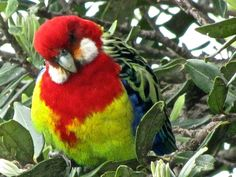 This is a Rosealla sitting in a Pohutakawa tree at Achilles Point, St Heliers Auckland. Australian Parrots, Like A Cat, Pretty Birds, Colorful Birds, Science Nature, New Zealand, Art Work, Achilles, Auckland