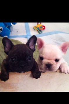 buddies!! Baby French bulldogs