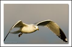 Ring-billed Gull in Winter Plumage by John Tucker on 500px