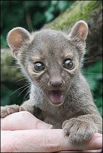 """Favourite Animals - Social - Imgur Community   Baby fossa - """"Really?!? That whole fishie is for meeeee?"""""""