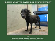 ***SUPER URGENT!!!*** - PLEASE SAVE LENA!! - EU DATE: 9/24/2014 -- Lena Breed:Labrador Retriever Age: Young adult Gender: Female Size: Large - If you have any questions please contact us at animalaidvermilion@gmail.com or (337) 366-0212 or visit our website animalaidvermilionarea.com for more information