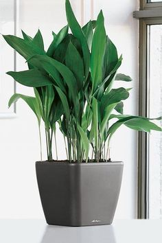 10 Houseplants That Don't Need Sunlight cast-iron plant Aspidistra elatior Houseplants Leedy Interiors NJ Interior Designer NJ