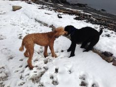 Sibs Poodles, Snow, Dogs, Animals, Animales, Animaux, Doggies, Toy Poodles, Animal