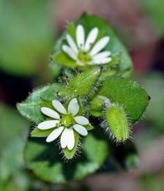 Chickweed – This common weed likes to produce seed and lots of it. If you are not careful it this seed crazy weed will have your yard full of more than just chickweed. Insects and other pests and diseases love to make home in this weed Healing Herbs, Medicinal Plants, Types Of Lawn, Weeds In Lawn, Edible Wild Plants, Wild Edibles, Edible Flowers, Paper Flowers, Growing Herbs