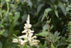 So zart und wunderschön ist die Pflanze! Hingucker für den Schatten! Astilbe, Gras, Around The Worlds, Christmas Ornaments, Holiday Decor, Instagram, Plants, Photos, House Trees