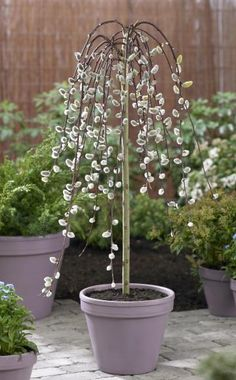 Die Hängende Kätzchen-Weide (Salix caprea 'Pendula') bleibt so kompakt, dass sie sich sogar in großen Pflanzgefäßen kultivieren lässt