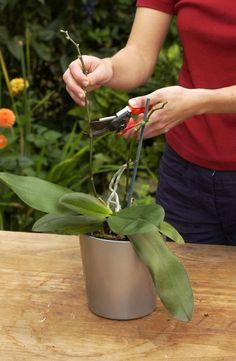 Orchidee schneiden