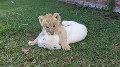 Kuluma and Makulu when they 1st arrived as cubs
