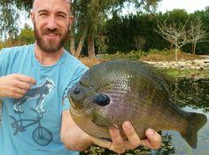 3 pound blue gill