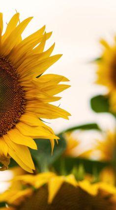 Ideas Beautiful Nature Photography Flowers Sunlight For 2019 Sunflower Photography, Nature Photography Flowers, Spring Photography, Iphone Photography, Flowers Nature, Beauty Photography, Yellow Photography, Sun Flowers, Yellow Flowers
