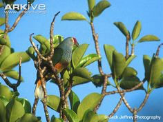 Image from http://cdn1.arkive.org/media/38/383E495F-BC96-49A6-B440-8DFE511B3412/Presentation.Large/Perched-Mariana-fruit-dove.jpg.
