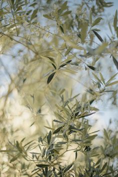 Tuscany  - destination wedding Italy - olive trees Ph. Meghan Sadler, planning and styling Princess Wedding www.princesswedding.it