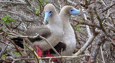 galapagos island - Google Search Galapagos Islands Ecuador, Marine Iguana, Animal Species, Archipelago, Darwin, Pacific Ocean, Snorkeling, Wildlife, Coast