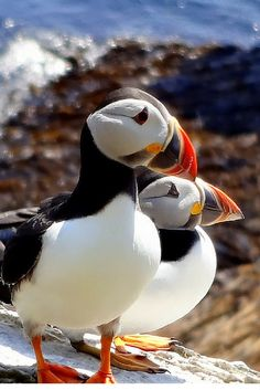 Ierland : Puffin Paradise - Visit the Atlantic Puffins who have made Skellig Michale Island off Ireland's West Coast their home. Sea Birds, Love Birds, Beautiful Birds, Animals Beautiful, Cute Animals, Baby Animals, Tori Tori, Puffins Bird, Whales