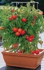 saksıda sebze yetiştirme - Google'da Ara